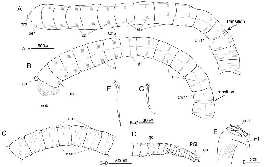 Three new species of Heteromastus (Annelida, Capitellidae