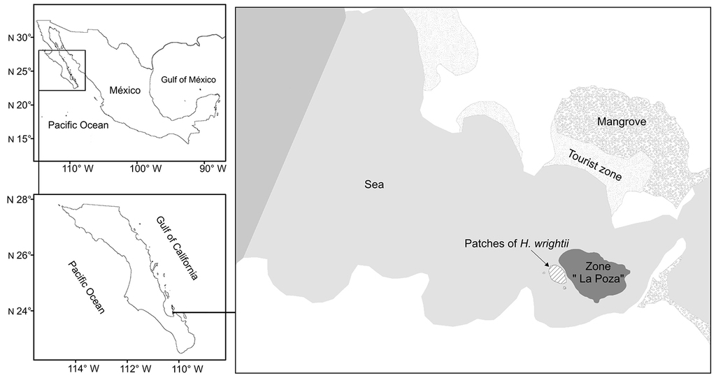 Seagrass Halodule wrightii as a new habitat for the