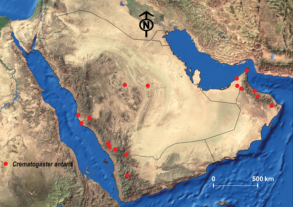 Review Of The Arabian Crematogaster Lund Hymenoptera Formicidae Synoptic List Distribution And Description Of Two New Species From Oman And Saudi Arabia