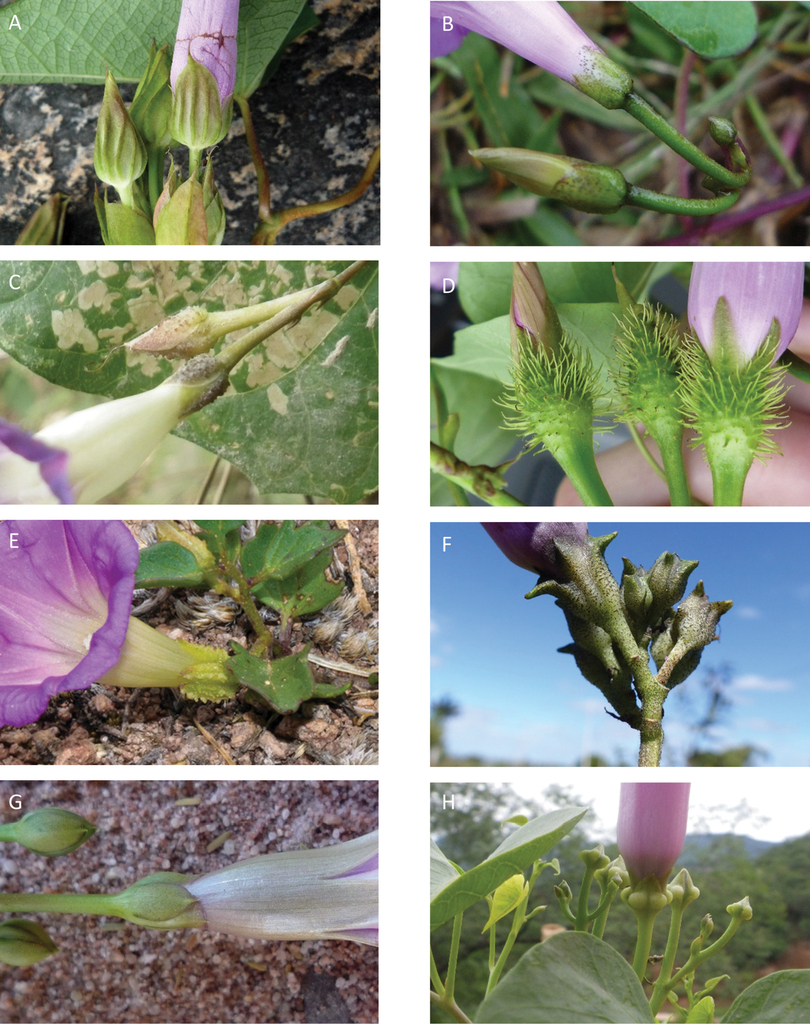 A Foundation Monograph Of Ipomoea Convolvulaceae In The New World