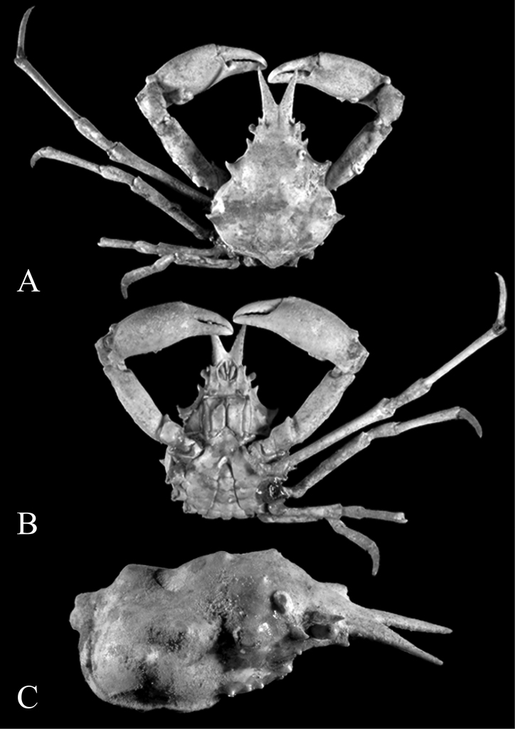 Revision Of The Deep Water Spider Crab Genus Scyramathia A Milne Edwards 1880 With The Description Of A New Species From The Mediterranean And Notes On Rochinia A Milne Edwards 1875 And Anamathia Smith 1885