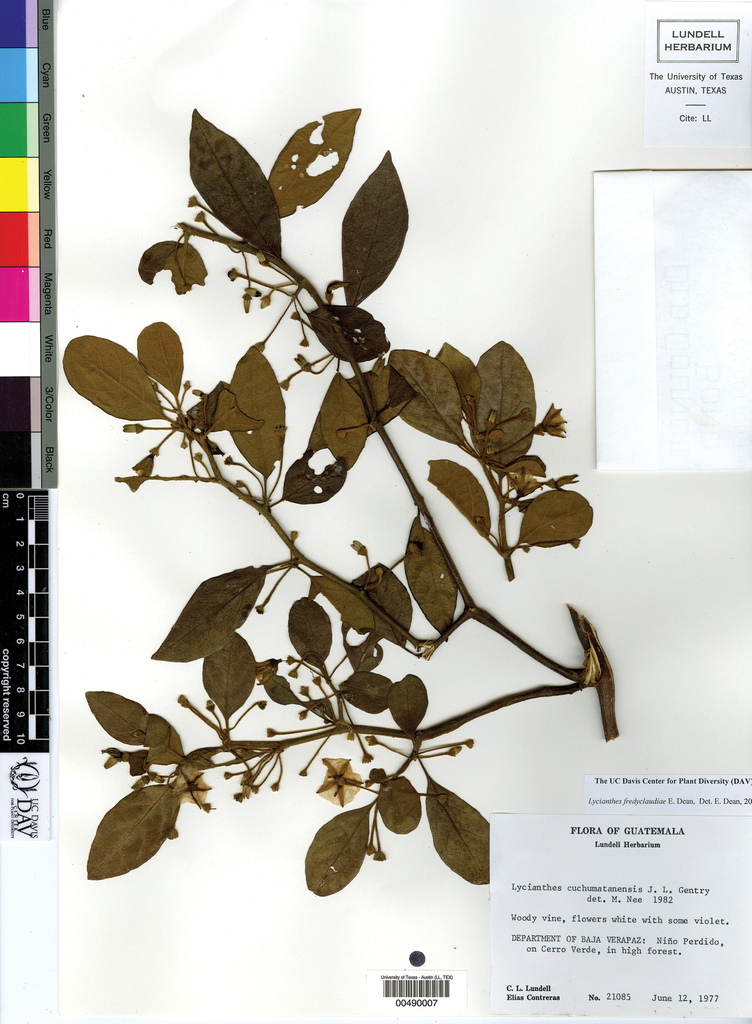 The Genus Lycianthes Solanaceae Capsiceae In Mexico And Guatemala